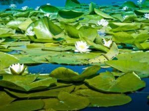 озеро с лилиями Запорожье
