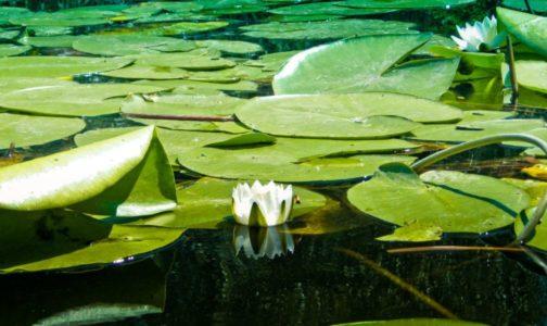 белая лилия не раскрытая