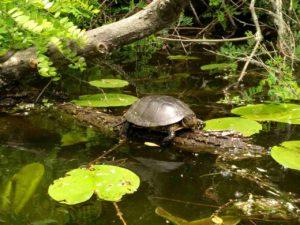 Черепаха бревно плавни