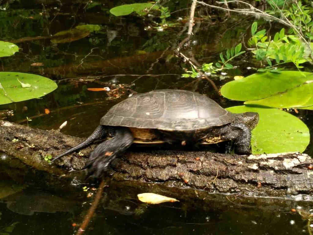 черепаха на бревне