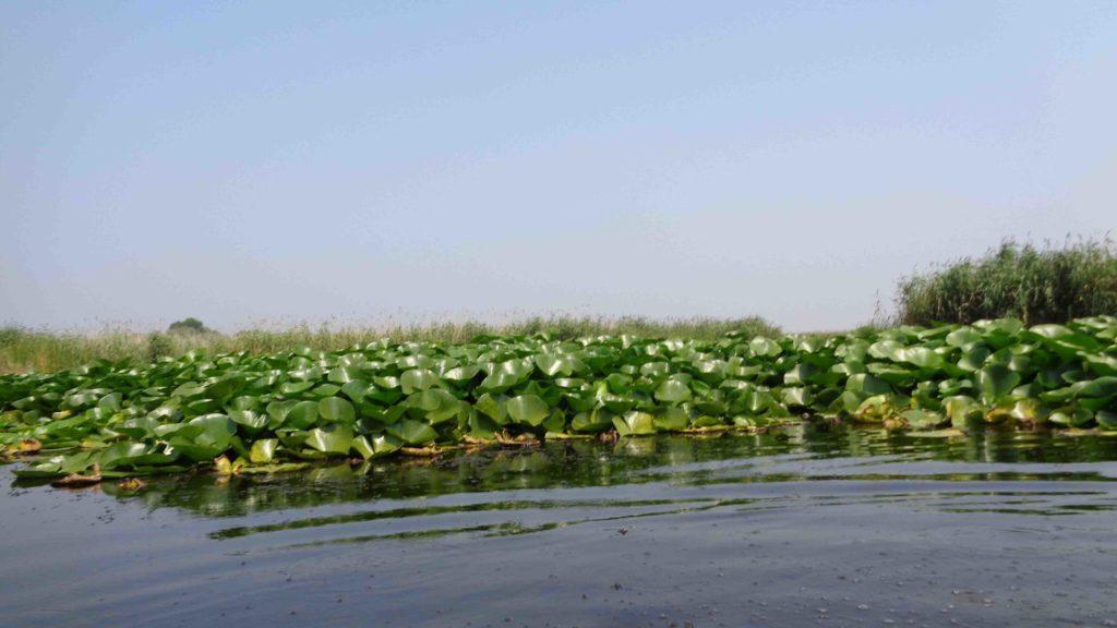 Высокие лилии над водой